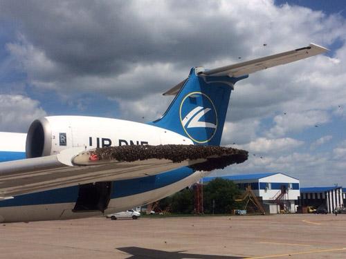 Пчелиная семья воспользовалась крылом самолета авиакомпании Днеправиа в качестве временного дома