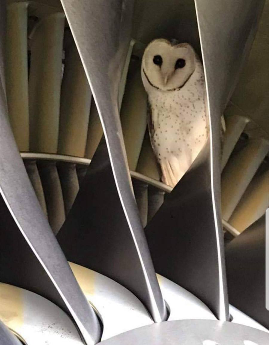 Вызволение совы из двигателя самолета Virgin Australia