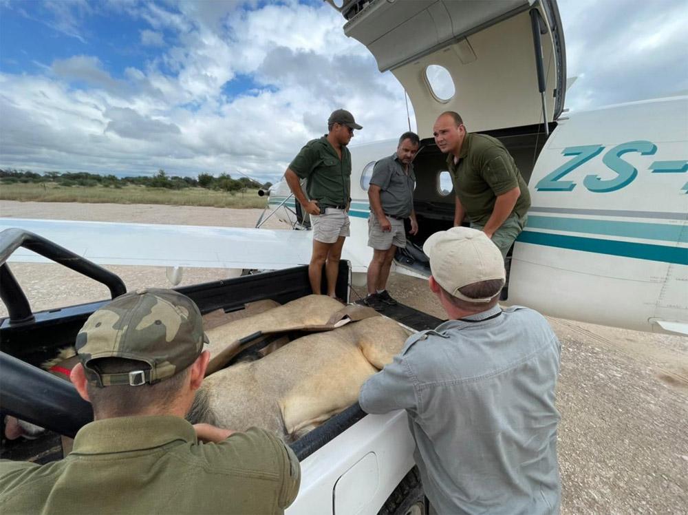 Загрузка львов в самолет Pilatus PC-12 в Южной Африке
