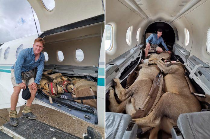 Львы в самолете Pilatus PC-12
